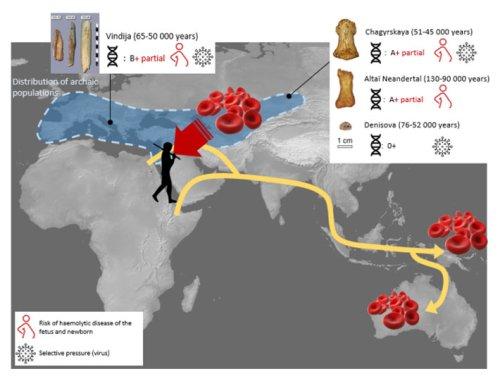 Genetic Study Examines Neanderthal Blood Types - Archaeology Magazine