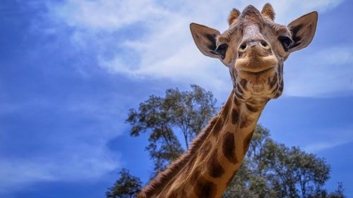 Wellness Safari: Giraffes May Hold the Biological Keys to Combating Hypertension