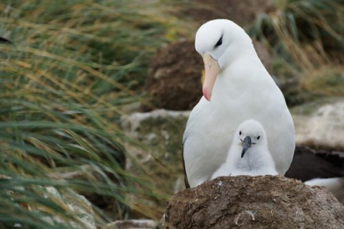 What Is Killing Albatross Chicks in the Falkland Islands?