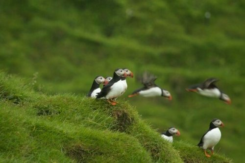 Podcast: Puffin Patrol