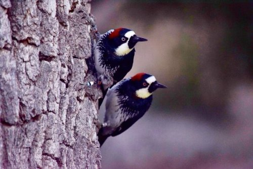 Acorn Woodpeckers Have Multi-Day Wars, and Birds Come From All Around to Watch