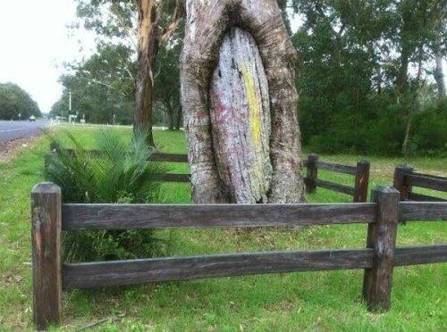 Broulee Canoe Tree