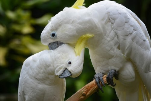 Could Hong Kong's Fugitive Cockatoos Save the Species?