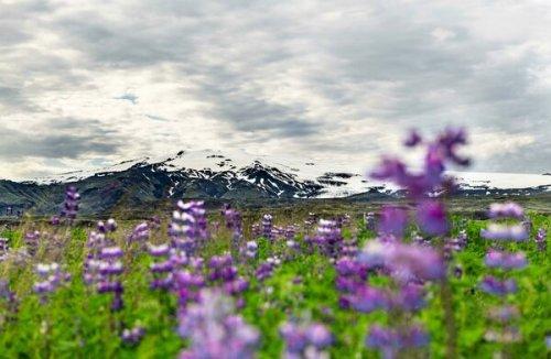 Iceland's Famed 'Lunar Landscape' Is Turning Purple