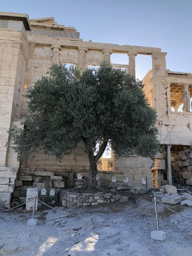 The Olive Tree of the Acropolis