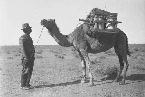 Australia's Growing Camel Meat Trade Reveals a Hidden History of Early Muslim Migrants