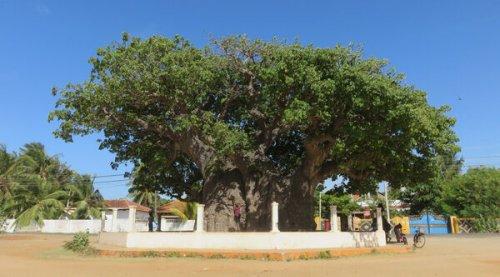 The Oldest Baobab Tree in Sri Lanka