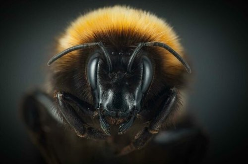What's Up With Alaska's Wild, Wondrous, 'Warm-Blooded' Bumblebees?