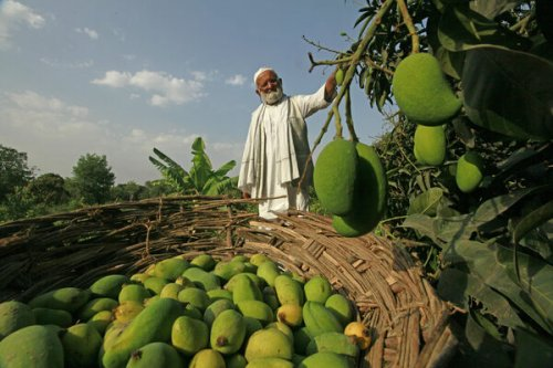 How India's 'Mango Man' Grew a Tree With 300 Flavors