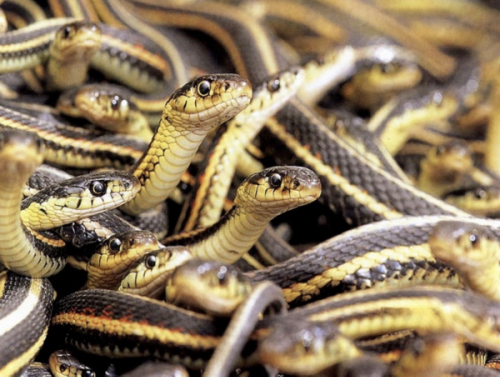 What Can 26,000 Snakes Teach Us About Climate Change?