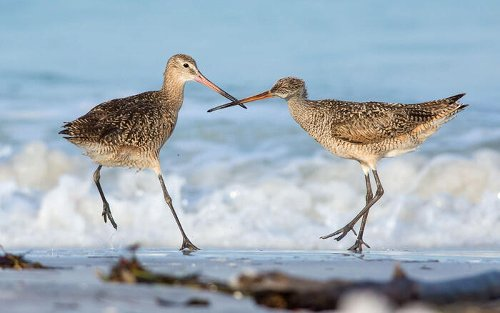 New Grant Enables Partners to Advance Shorebird Planning at Nevada Wetlands