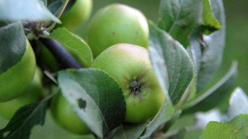 Gelbes Band: Auch im Unterallgäu gibt es Äpfel und Birnen für alle