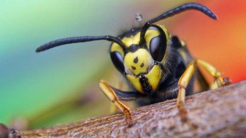 Wer mag schon Wespen? Ehrenrettung der ewig Unverstandenen