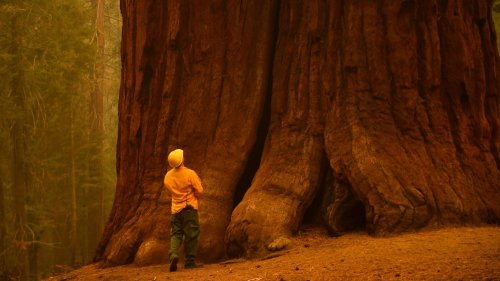 10,000 trees near giant sequoia groves to be removed after fires