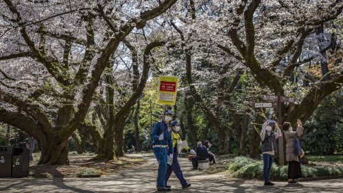Cherry blossoms' earliest peak in 1,200 years linked to climate change
