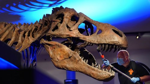 2.5 billion T. rex inhabited the planet, researchers say