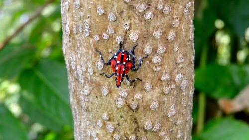 Spotted lanternfly spreading in New York state