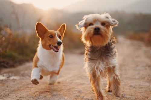 Mystery canine illness identified as animal coronavirus
