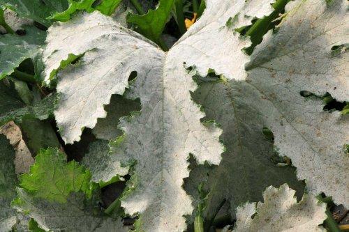 7 traitements naturels pour éliminer l'oïdium