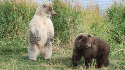 There Is a Fat Bear Cub Contest Going on in Alaska and We Don't Know What Else You Could Possibly Want