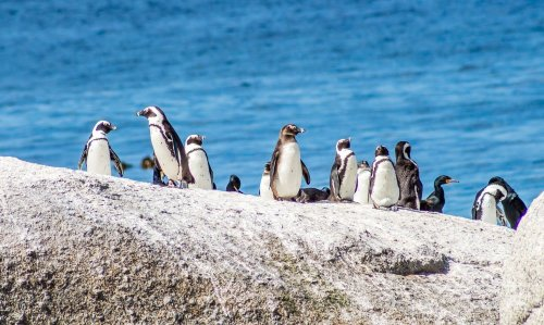 The Penguins Of Southern Africa | BaldHiker