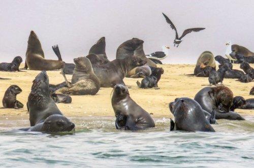 Kayaking With Cape Fur Seals Off The Namibian Coast   BaldHiker