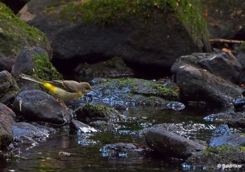 The Grey Wagtails by the riverside | BaldHiker