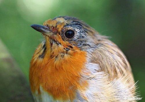 The Tame Yet Fierce Robins | BaldHiker