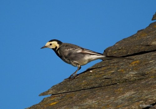 The Pied Wagtails on the roof | BaldHiker