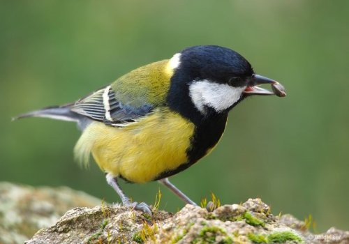 The growing of the Great Tits | BaldHiker