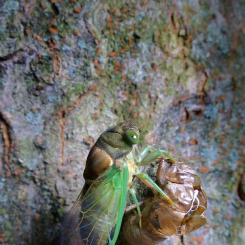 Back and bigger than ever: New cicadas that 'like to scream' are here