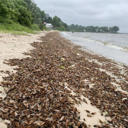 The last swim: Cicadas washing up on the Anne Arundel shores by the millions