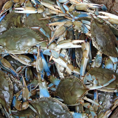Gerald Winegrad: Blue crab population is near collapse while regulators fail to act