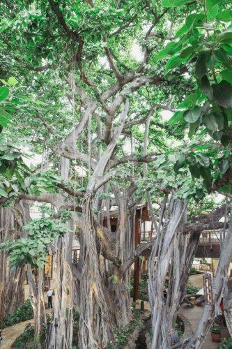 A Living Landmark | Banyan