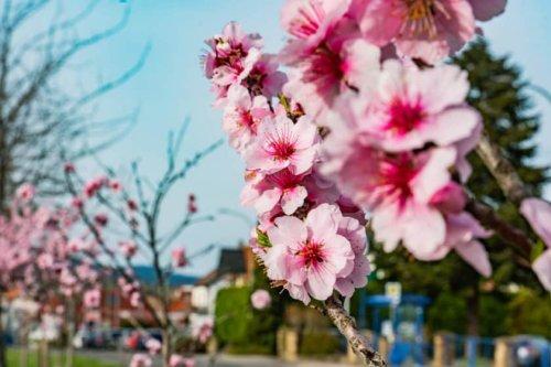 Mandelblüte Roadtrip – Mit dem Auto durch die rosa Pracht