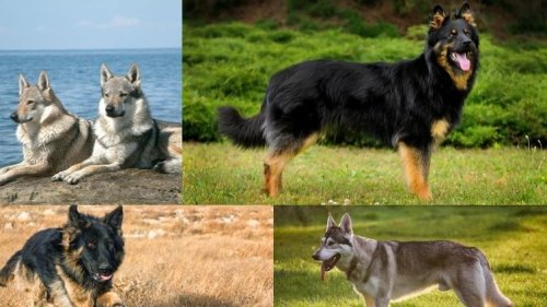 Breeds Of German Shepherd - The Ultimate Guide - Barking Royalty