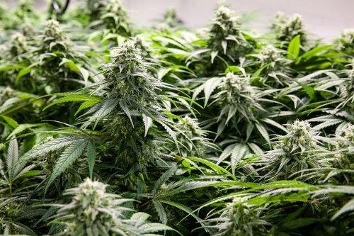 Giant Pension Sold Marijuana Stocks Canopy, Aurora, and Cronos. Two Stocks It Bought.