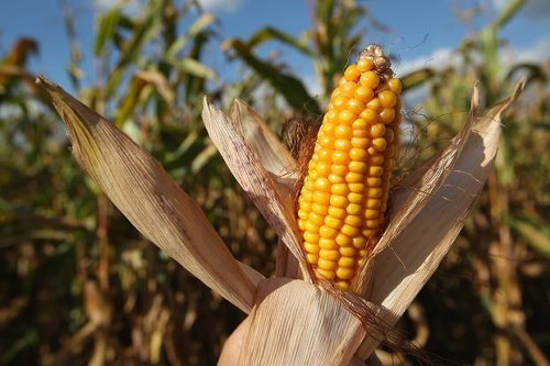 Corn Could Be Headed for a Record High