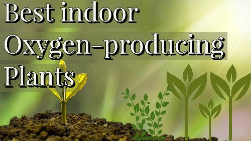 Which Indoor oxygen-producing plants Give oxygen All time: Oxygen source.