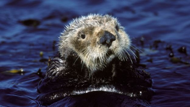How sea otters can fight climate change