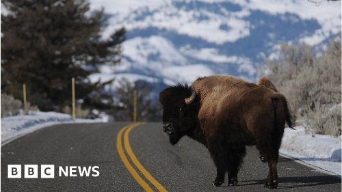 Grand Canyon lottery to kill bison gathers 45,000 entries