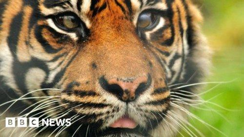 'World first' as Cambridge vet saves tiger's eye