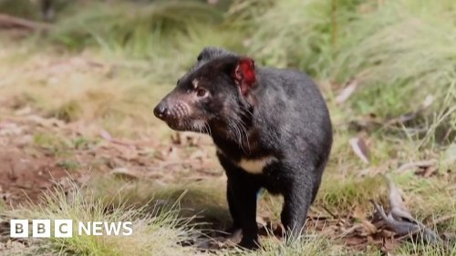 'Devils' born on Australian mainland after 3,000 years