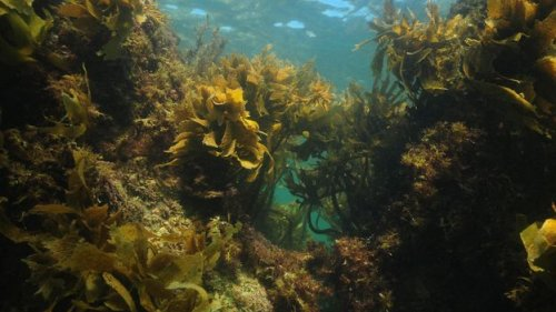 The remarkable power of Australian kelp