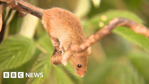 The Scottish mice helping to rewild Ealing