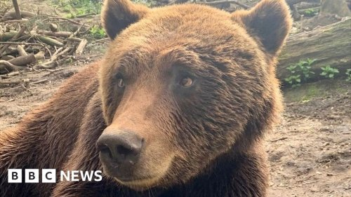 Bristol bear with a sore tooth gets dental work done
