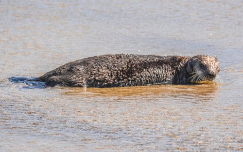 Considered Extinct, Live Sea Otter on Oregon Coast | What That Means