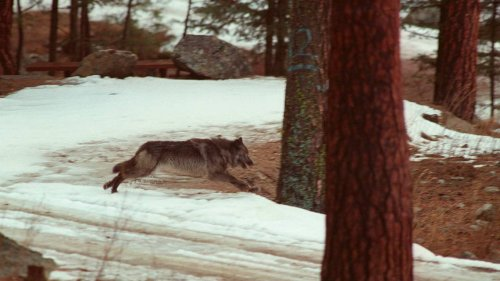 Guest opinion: New, extreme hunting laws show why states like Idaho can't manage wolves