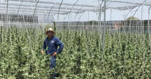 Profitable Yet Sustainable: 3 Methods To Help Cannabis Growers Achieve The Ideal Balance