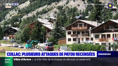Ceillac: plusieurs attaques de Patou recensées